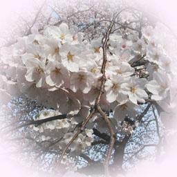 桜の素材アップしています イラスト素材パラダイス サイト制作ブログ